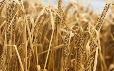 Your Beer Starts Here – The Barley Grower